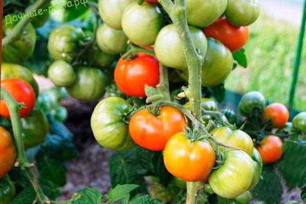 низкорослые томаты для теплицы сорта