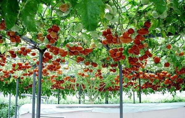 помидоры для теплицы из поликарбоната сорта лучшие низкие