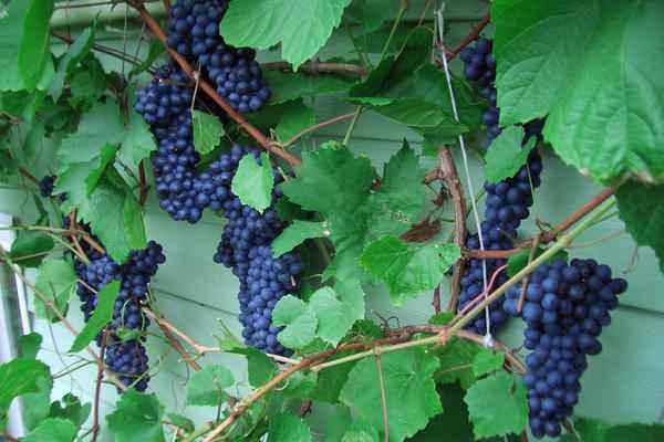 Обрезка винограда весной и уход за виноградным кустом