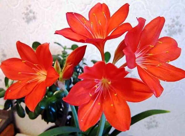 цветущие комнатные цветы фото и названия по алфавиту