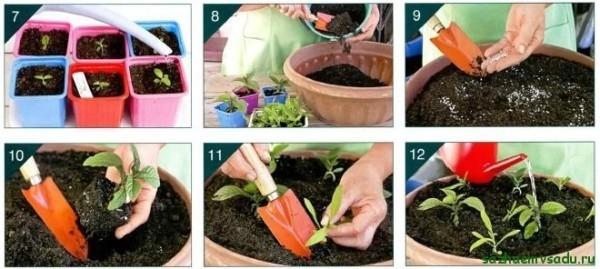 Гелиотроп выращивание из семян в домашних условиях