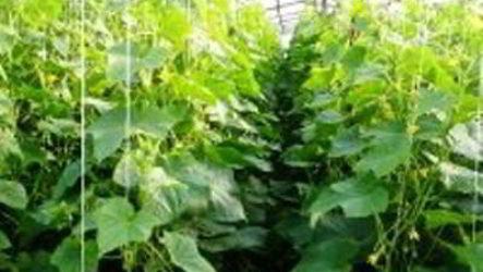 С чего начинать выращивание огурцов в теплице ранней весной