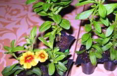 Петуния из семян: выращивание в домашних условиях