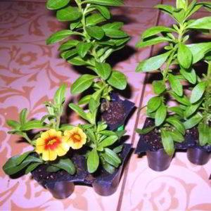 Петуния: выращивание из семян в домашних условиях