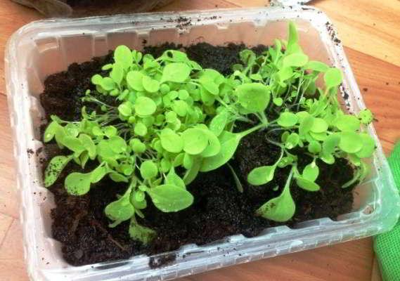 душистый табак рассада выращивание из семян