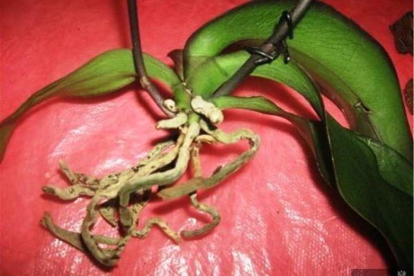 янтарная кислота для комнатных растений купить