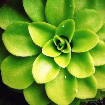 хищные растения жирянка