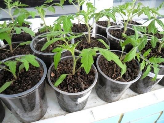 помидоры на рассаду посадка в 2018 году