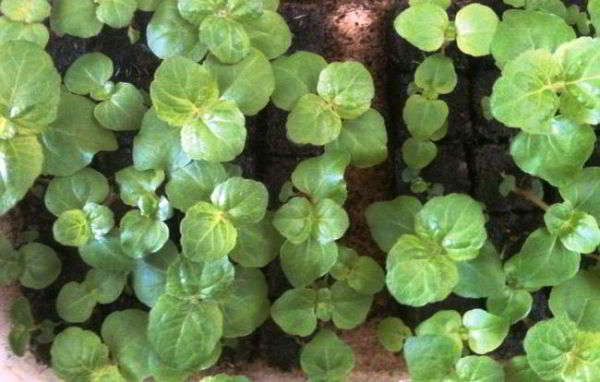 агератум выращивание из семян