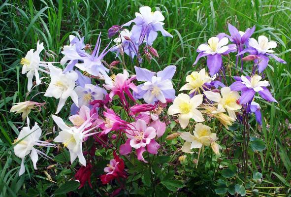 многолетники цветущие все лето фото с названиями неприхотливые