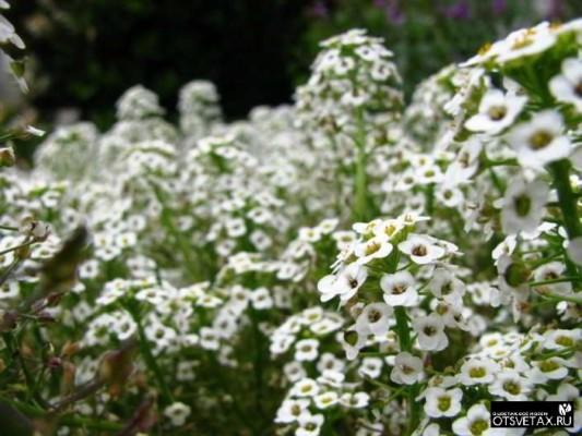 алиссум выращивание из семян когда сажать фото маленький мук