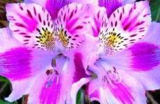 Цветы альстремерия