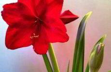 Как сделать чтобы амариллис зацвёл второй раз в году