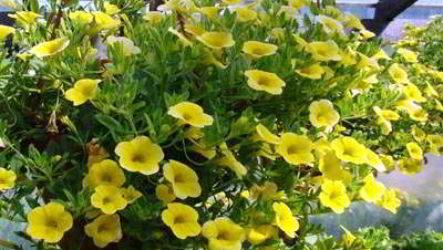Видео: как вырастить ампельные растения дома, на даче