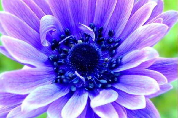анемона корончатая фото