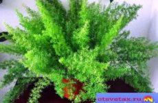 Аспарагус – уход в домашних условиях, фото видов, тонкости выращивания