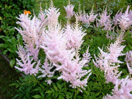 неприхотливые многолетники цветущие все лето фото с названиями для урала