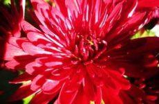 Астры: выращивание из семян когда сажать на рассаду, в открытый грунт