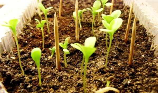 астры выращивание из семян