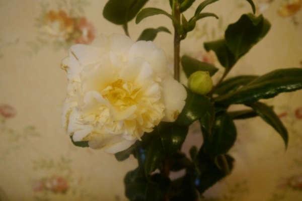 камелия уход и выращивание в домашних условиях отзывы