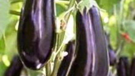 Баклажаны: выращивание и уход в открытом грунте технология