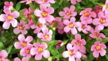 Бакопа – фиалка магия любви: как вырастить из семян с фото