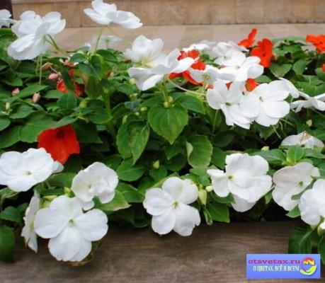 бальзамин садовый выращивание из семян фото