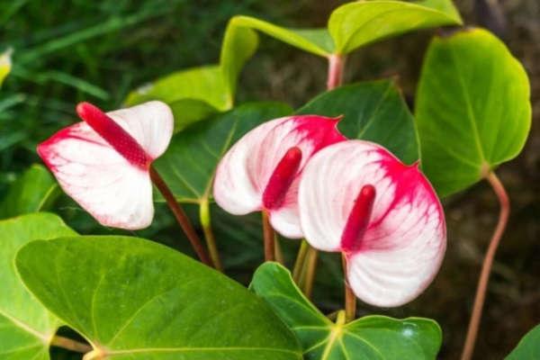 цветок антуриум в домашних условиях