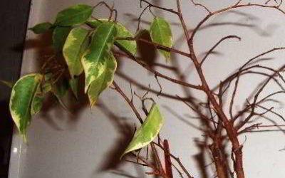 Фикус Бенджамина сохнет, желтеют и опадают листья, как спасти цветок
