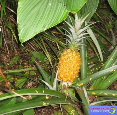 какие растения бромелиевые фото