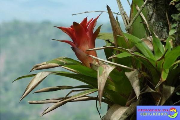 бромелиевые растения