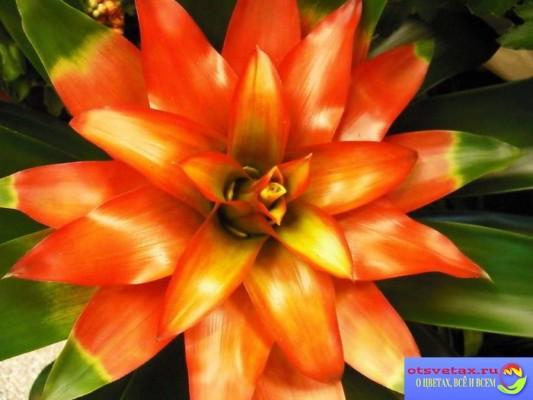 бромелиевые растения фото