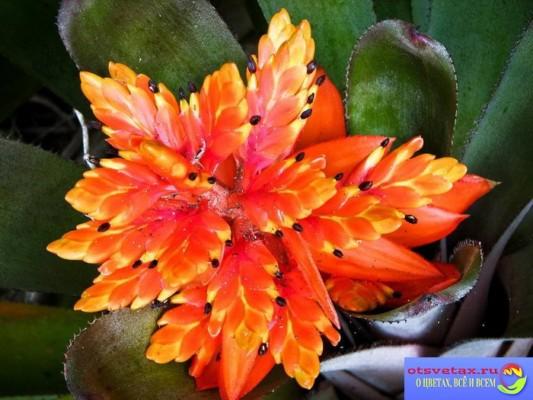 бромелиевые растения купить