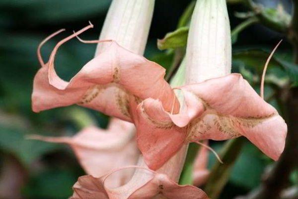 бругмансия уход в домашних условиях цветение