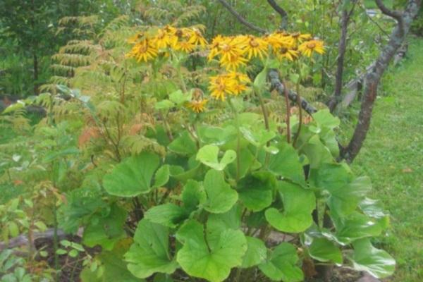 цветы бузульник посадка и уход фото
