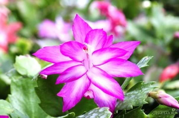 декабрист цветок уход в домашних условиях пересадка