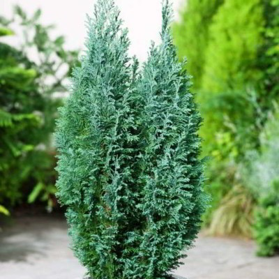 chamaecyparis-lawsoniana-ellwoodii