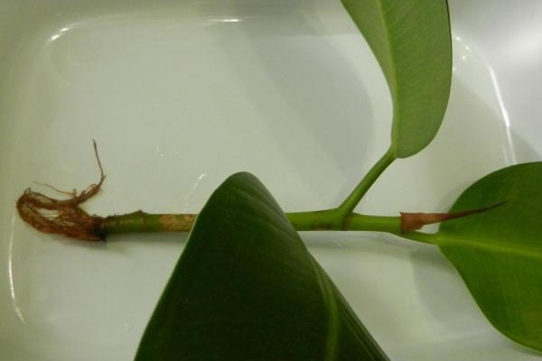 фикус каучуконосный уход в домашних условиях размножение