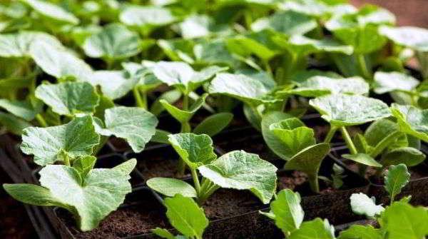 что можно сеять в январе на рассаду