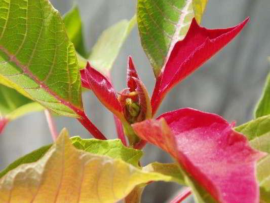 цветок красный лист
