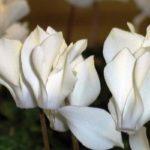 комнатные цветы цветущие фото название