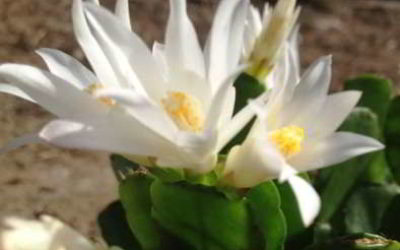 Декабрист – где родина комнатного растения шлюмбергера?