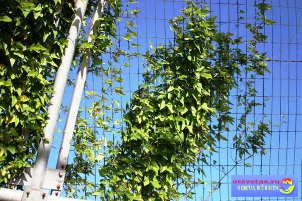 dekorativnaya-fasol Вьющиеся растения для забора быстрорастущие