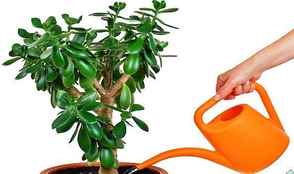 цветок толстянка или денежное дерево как ухаживать