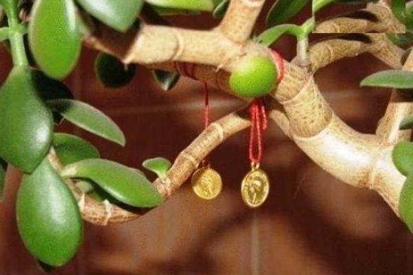 денежное дерево уход в домашних условиях цветение приметы