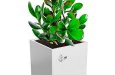 """Комнатное растение денежное дерево на фото конкурсе """"Цветы в моем доме"""""""