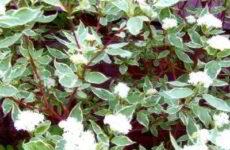 Дёрен пестролистный, виды и сорта, посадка и уход в открытом грунте