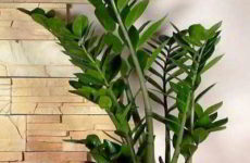 Долларовое дерево: правильный уход за цветком в домашних условиях