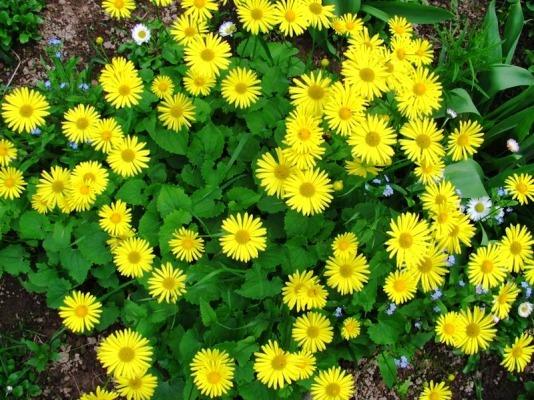 неприхотливые многолетники цветущие +все лето фото