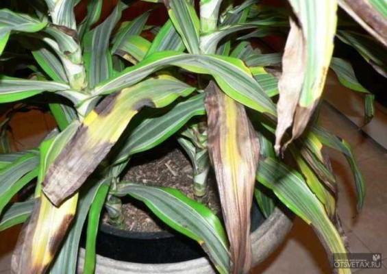 драцена уход в домашних условиях фото сохнут листья форум